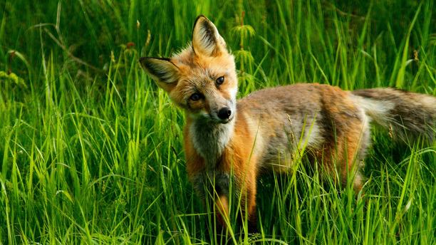 Activists Try to Get Foxes Freedom and Fail: Are Their Methods Ruining Their Efforts?
