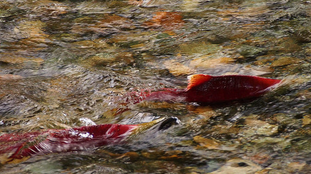 Coho Salmon in Southern Oregon and North California Threatened