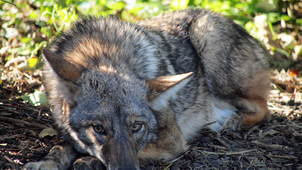 Coyotes in Cities? Why it's Our Fault